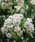 Рецепт настойки цветков боярышника
