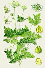Симфония трав от простатита
