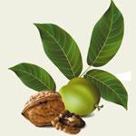 Зелень грецкого ореха