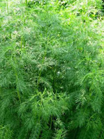 Масло из семян полыни при лечении бессонницы